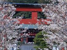 Fleurs de cerisier au Japon