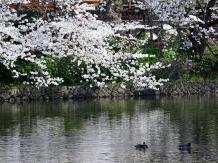 Kamakura Hachimangu Genjiike _2018-03-28_Hiroyoshi Kawana