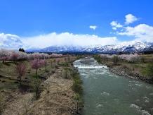 Sakura, fleurs de cerisiers à Niigata