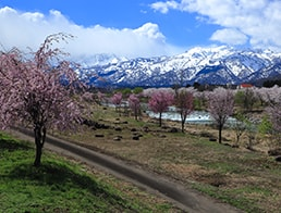 row of cherry blossom trees and snowcapped mountain