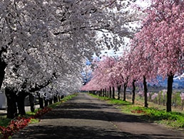 a tunnel of red and white cherry blossom trees