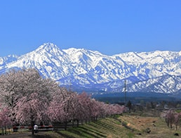 row of cherry blossom at the embankment and Mt. Myoko