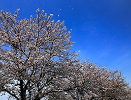 Cherry blossoms are fluttering in the wind