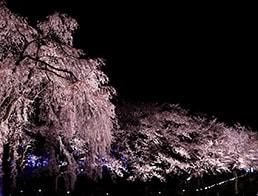 Sakura Road in the evening