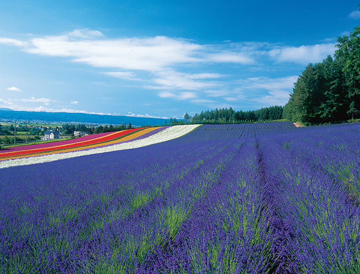 Lavender field in Furano