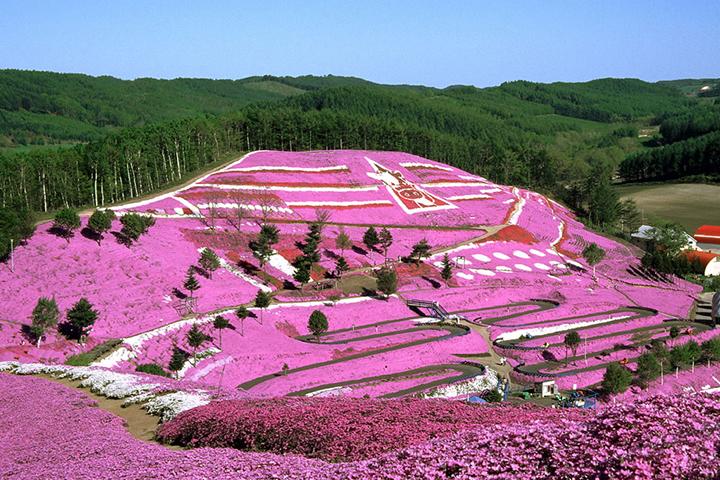 Shiba-Zakura (Pink Moss) Festival