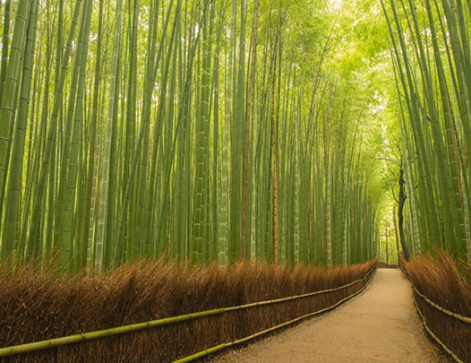 Pathway through bamboo forest, Kyoto