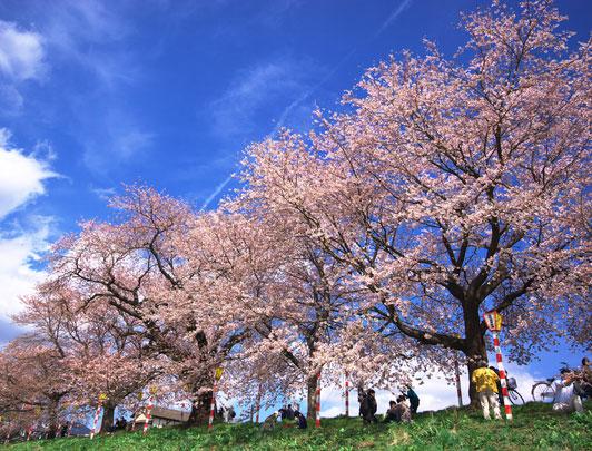 Hitome Senbon Sakura