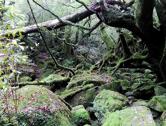 Moss Forest, Shiratani Unsuikyo
