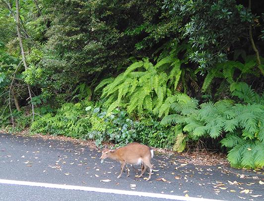 Yakushika (Wild Yaku Deer)