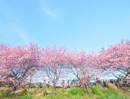 kawazu_sakura