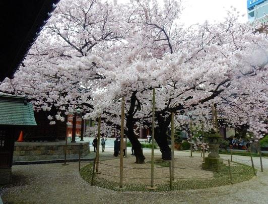 Sakura_Tochoji_Fukuoka