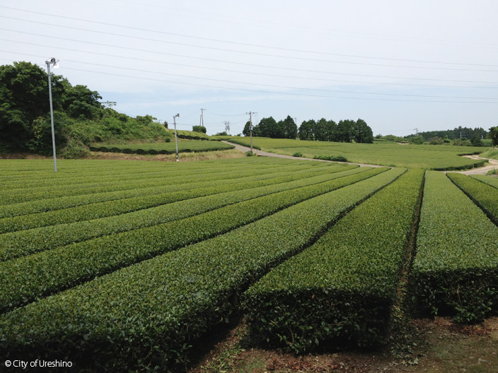 Ureshiono Tea Fields